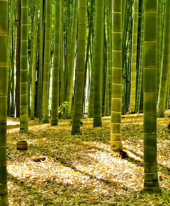 Bambù, caratteristiche ed uso