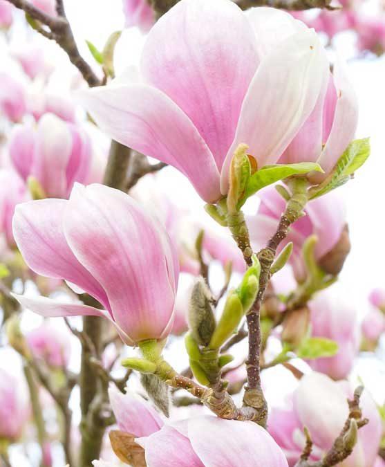 Magnolia: clima, caratteristiche, semi e benefici