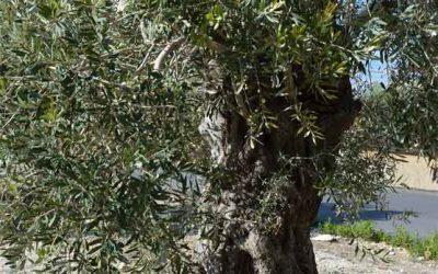 Ulivo, coltivazione in vaso, esposizione e cura