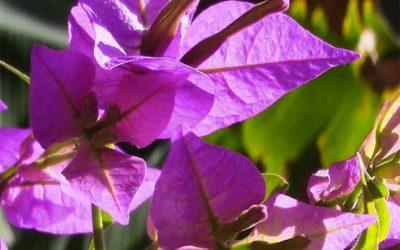 Tutto sulla Bouganville: esposizione, fioritura e malattie