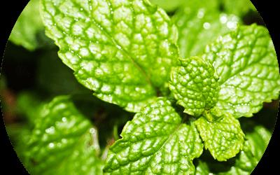 Piante aromatiche: coltivazione, cura ed essicazione