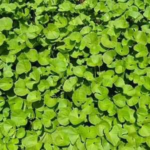 Hydrocotyle, erba infestante