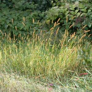 Setaria glauca o pabbio comune, erba infestante a foglia stretta