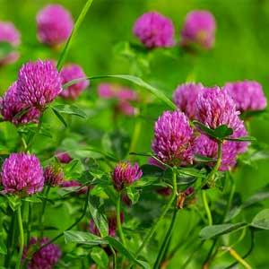 Trifolium o trifoglio, erba infestante a foglia larga